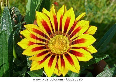 Gazania, Treasure Flower