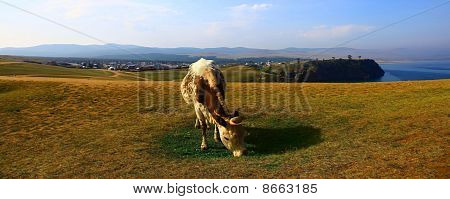 Cow. Lake Baikal. Olkhon Island.