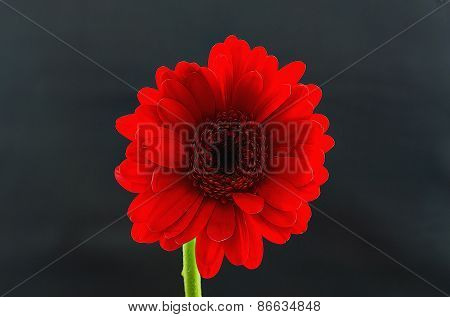 Red Gerber Daisy Illustration