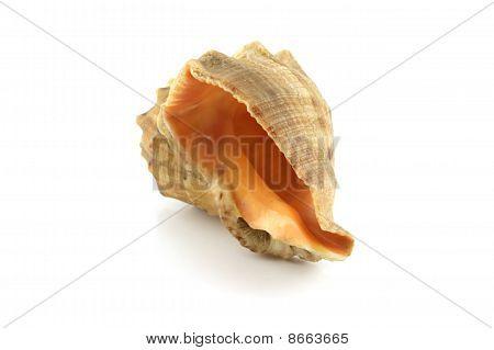 Single Sea Shell