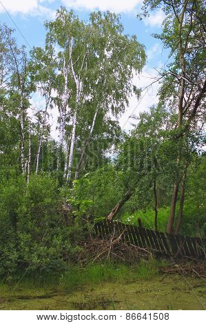 summer landscape with birch trees in wetlands