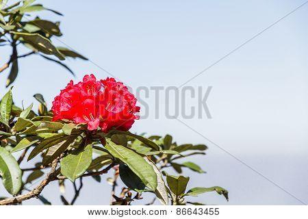 Rhododendron Arboreum Flower