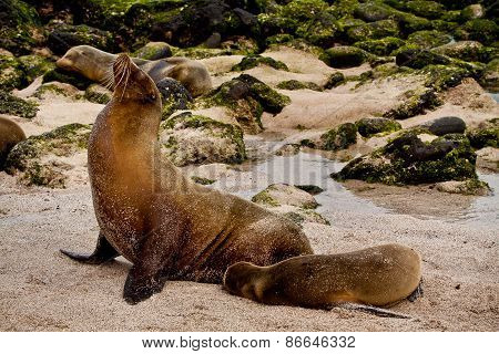 Portrait of cute brown sea lion with baby in San Cristobal, Galapagos Islands