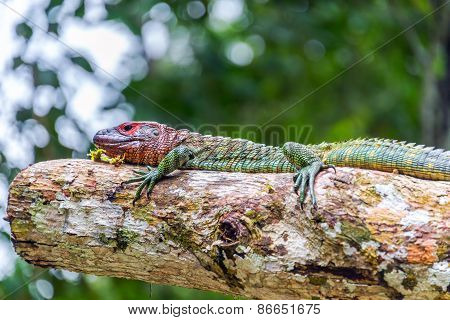 Red Headed Iguana