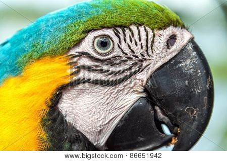 Blue And Yellow Macaw Face