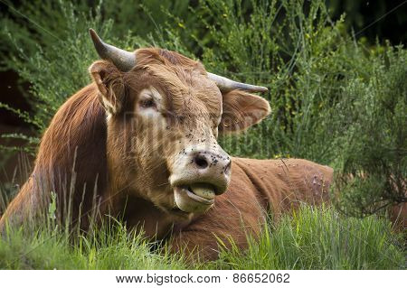 a saler cow is resting in the grass, Vosges, France