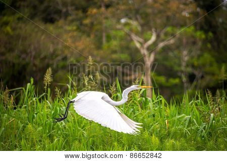 Great White Heron Flight