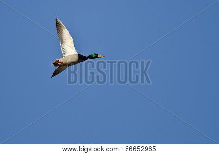 Lone Mallard Duck Flying In A Blue Sky