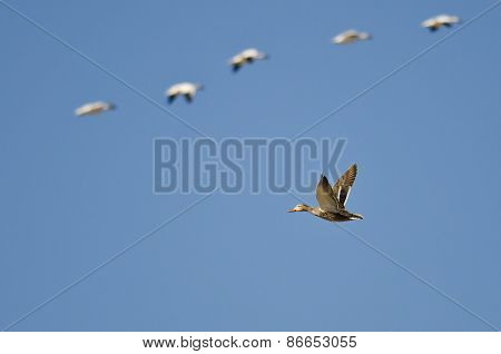 Mallard Duck Flying With The Snow Geese In A Blue Sky