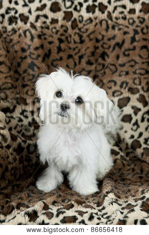 Cute Maltese Puppy