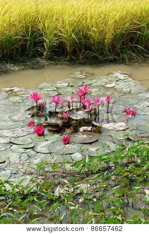 Mekong Delta Travel, Rice Field, Water Lily Flower