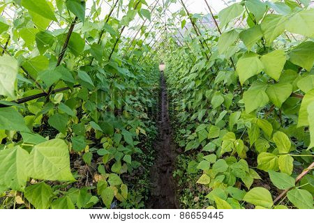 Tropical green bean plantation in Vietnam