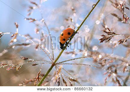 Summer Meadow A Ladybug On A Grass