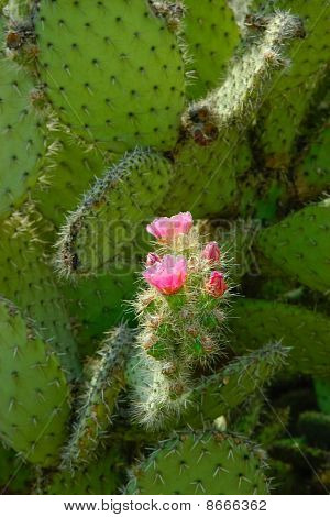 Pink Flowers And Green Buds On The Cactus Leaf.