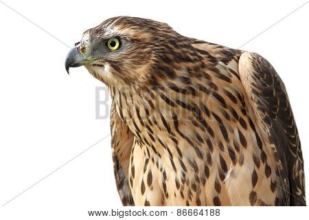 Eurasian Sparrowhawk On White Background
