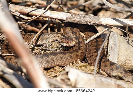 Female Common European Adder In Situ