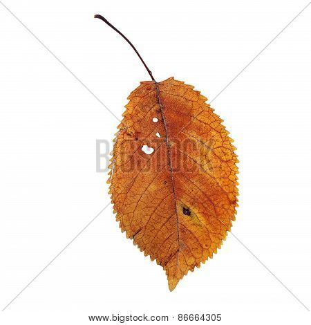 Isolation Of A Beautiful Faded Cherry Leaf