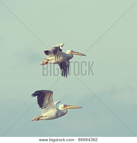 Pelicans In Flight With Vintage Effect