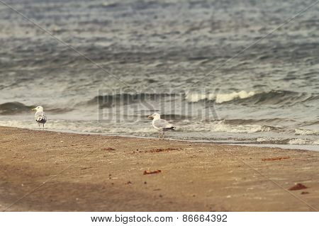 Sea Shore And Herring Gulls