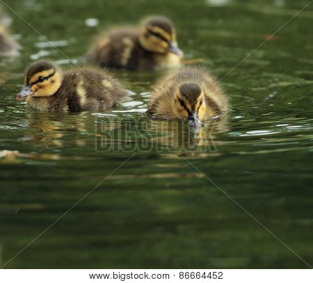 Tiny Little Ducklings On Water