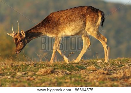 Young Fallow Deer Buck In Beautiful Light