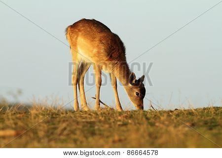 Young Fallow Deer Grazing