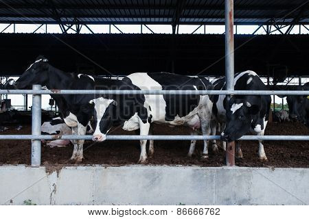 Holstein Cows in a farm