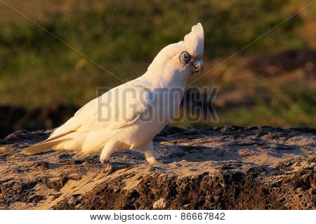 Cockatoo on a rock.