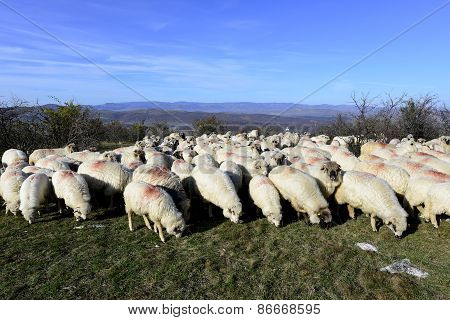 sheep flock grazing around highlands in Transylvania, Romania