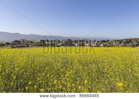 Mustard flower spring meadow in suburban Simi Valley near Los Angeles, California.