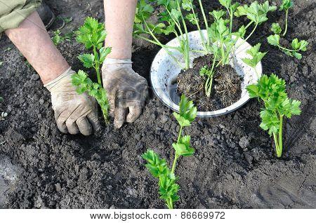 Farmer Planting A Celery Seedling