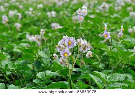 Organically Cultivated Plantation Of Potato In The Vegetable Garden