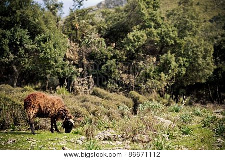 sheep grazing in the beautiful landscape in majorca