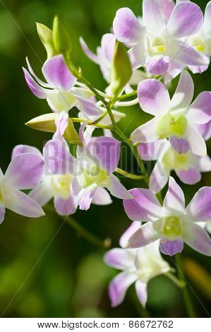 Blossoming Dendrobium Bigibbum Orchid In A Garden Of Orchids To Bali. Shooting With Natural Lighting