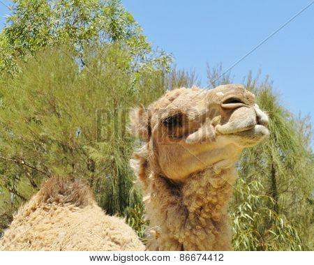 Dromedary or Arabian camel
