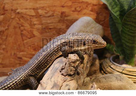 Sudan Plated Lizard (gerrhosaurus Major) On Stone