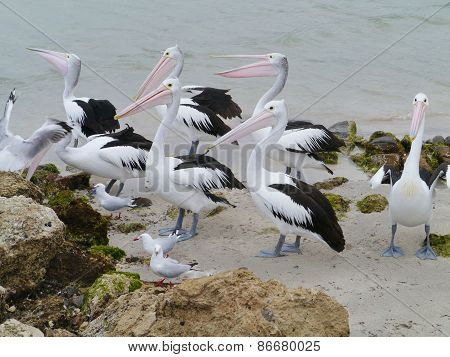 Australian Pelicans  on the beach