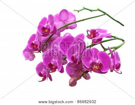 Blooming Orchid Close-up Isolated On White Background