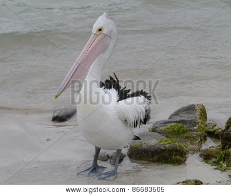 Australian Pelican in South Australia