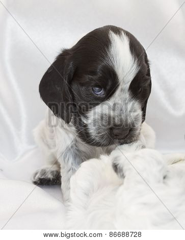 English Cocker Spaniel Puppies.