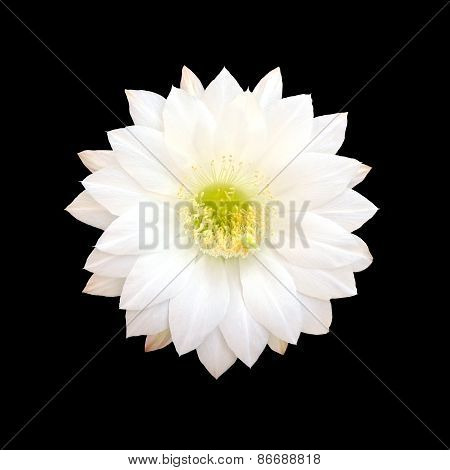 White Cactus flower isolated on black background.