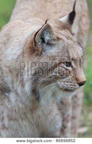Northern Lynx cat