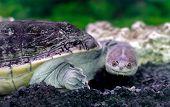 foto of water animal  - Image amphibian exotic animal Chelidae in water - JPG