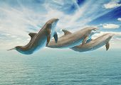 foto of bottlenose dolphin  - jumping dolphins - JPG