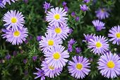 picture of daisy flower  - European michaelmas daisy  - JPG