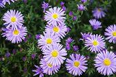 stock photo of european  - European michaelmas daisy  - JPG