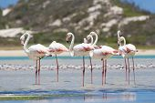 picture of long-legged-birds  - Flock of flamingos wading in the shallow lagoon water - JPG
