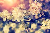 picture of apple orchard  - Blossoming apple orchard glowing by sunlight - JPG