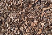 picture of alder-tree  - Fresh wet wood chip from pine tree - JPG