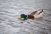 picture of male mallard  - mallard male swimming on a lake - JPG
